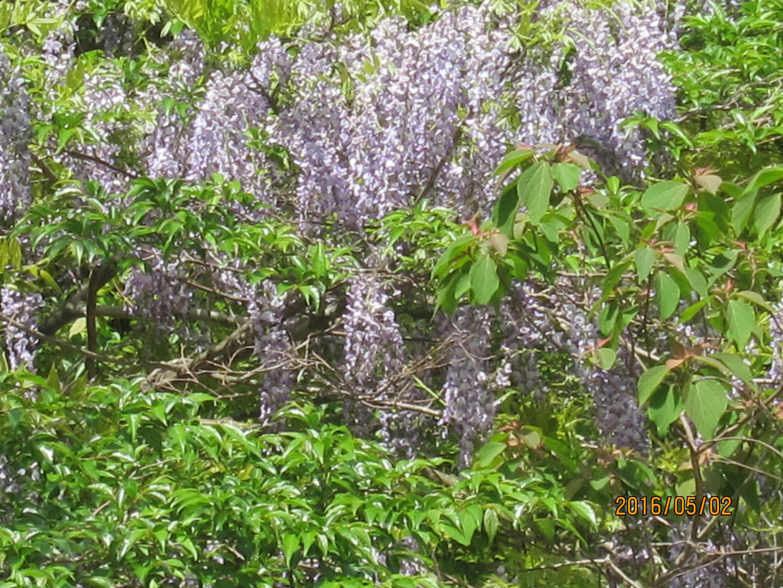 銚子川中流の藤の花