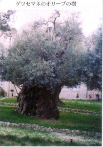 オリーブの老木